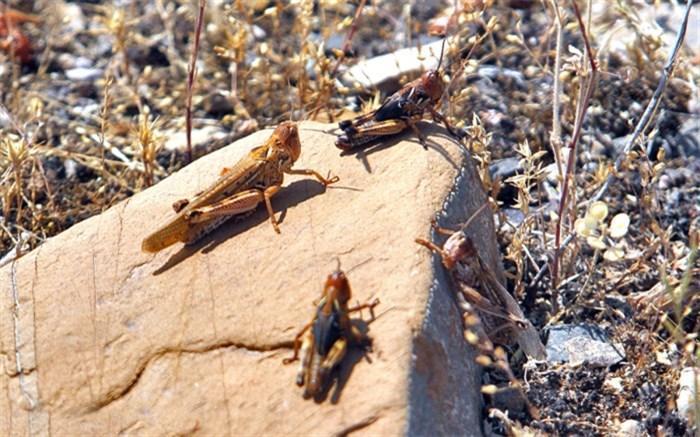 مبارزه با آفت ملخ صحرایی در مزارع قیروکارزین