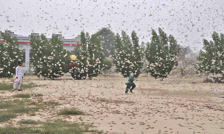اعزام 100 هزار اردک چینی برای مبارزه با ملخ ها؟ ، طرحی که وتو شد