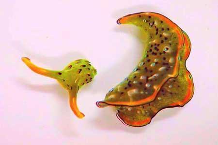 حلزون هایی که سر خود را جدا می نمایند و بدن جدید درمی آورند!